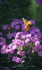 Flying monarch © 2015 Karen A. Johnson