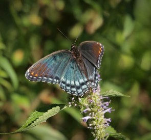 Red-spotted purple 3 © 2015 Karen A. Johnson