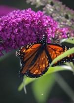 Monarch on butterfly bush-11 © 2015 Karen A. Johnson