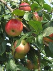 Zestar apples © 2015 Karen A. Johnson