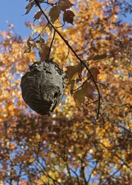 St. James hornet nest © 2015 Karen A. Johnson