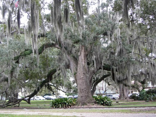 Live oak © 2016 Karen A. Johnson