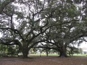 Live oaks © 2016 Karen A. Johnson