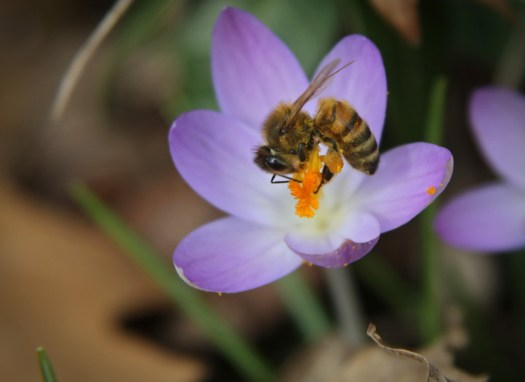 Crocus and Honeybee 3 © 2016 Karen A. Johnson