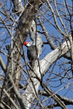 Pileated woodpecker 2 © 2016 Karen A. Johnson