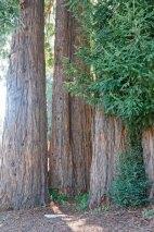 Redwoods © 2016 Karen A. Johnson