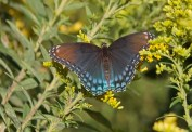 Red-spotted purple © 2016 Karen A. Johnson