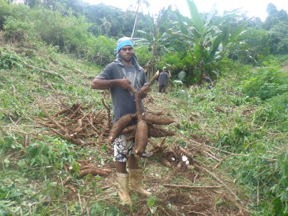The Cassava root is pulled