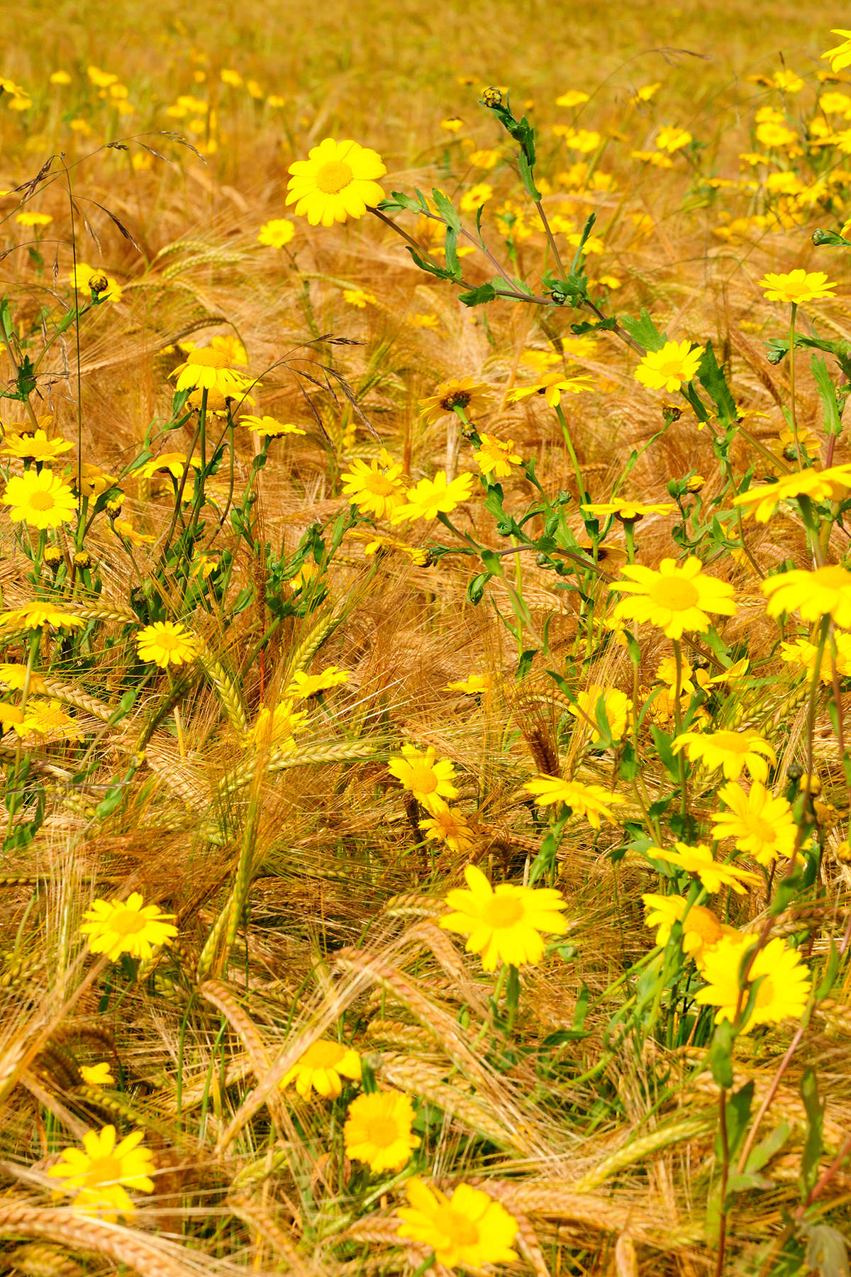 Numerous yellow corn marigold flowers, some in soft focus, growing in a field of golden barley