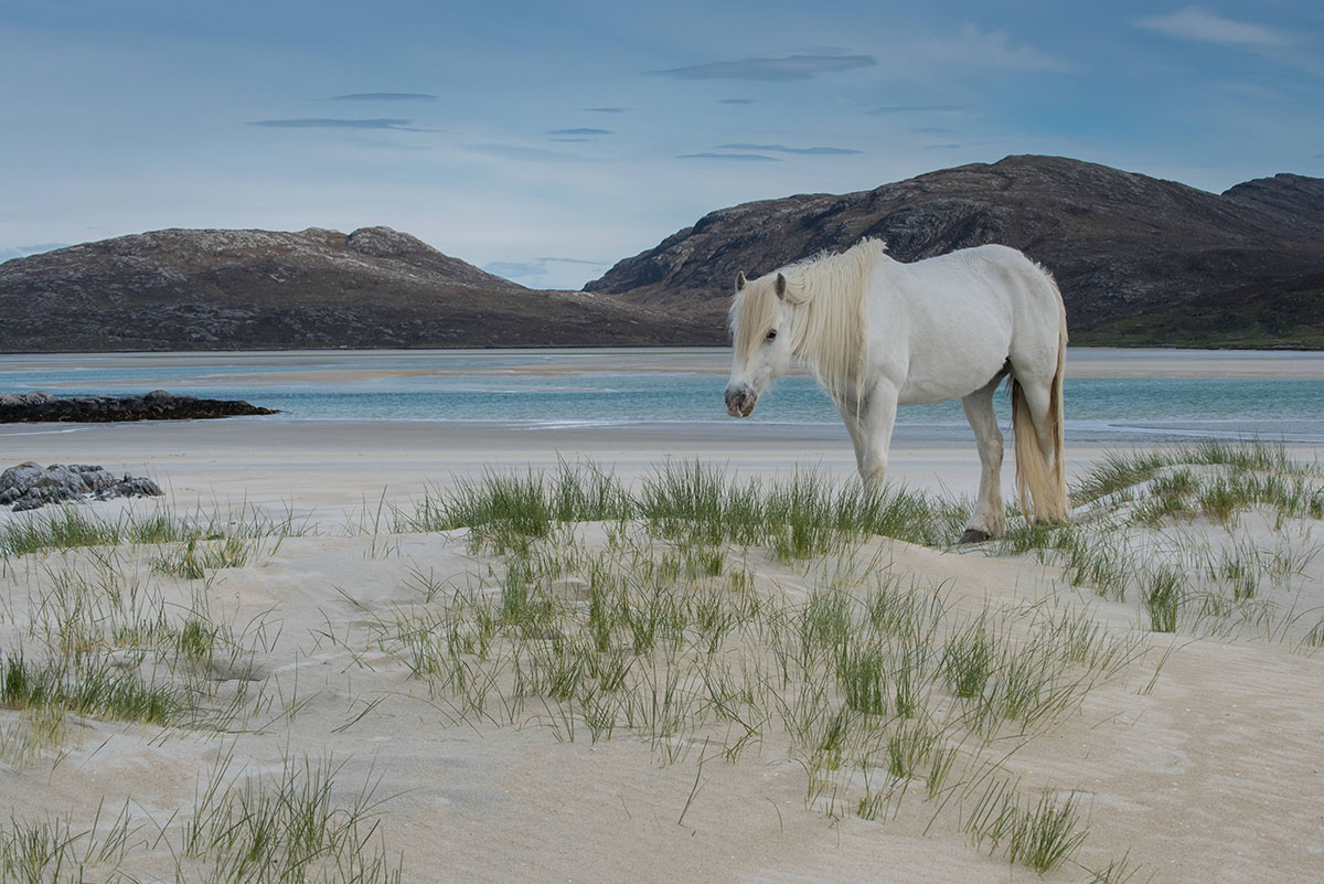 White Eriskay pony standing on shallow sand dunes on a beach, with the sea and hills in the distance