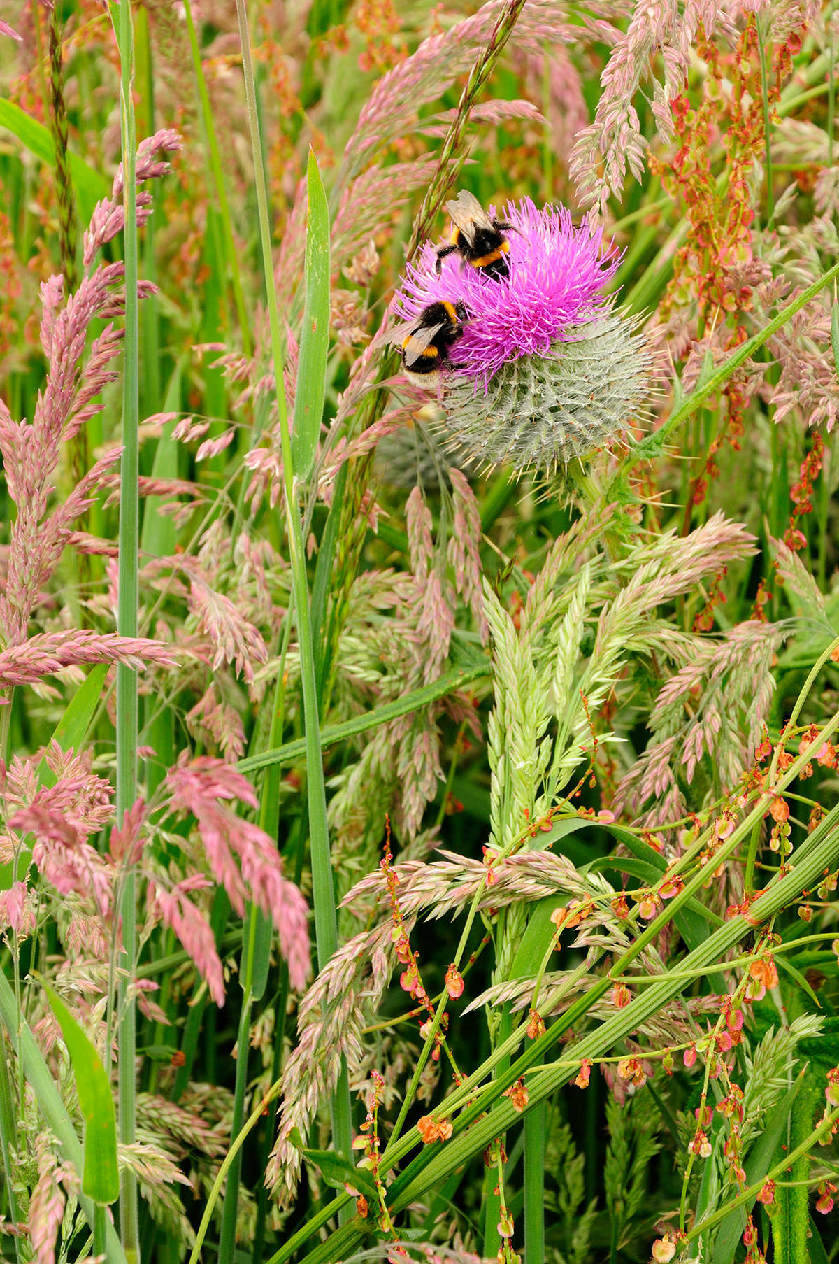 Two bumblebees on the purple jagged head of a Scottish thistle, growing among long grass with green and brown tones