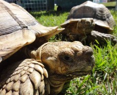African tortoises, 19 and 18 years old, about 75#.