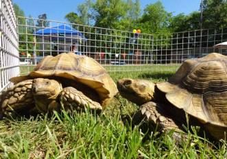African tortoises.