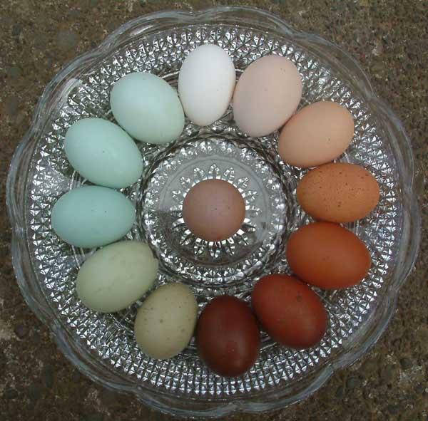 Dark Layer Egg Brown Chicken