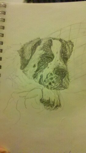 A pencil drawing of a sleeping Saint Bernard's face