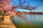 Cherry Blossoms HDR