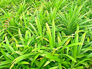 pandan_leaves