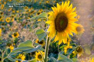 Single Isolated Sunflower in a field with Sun Rays