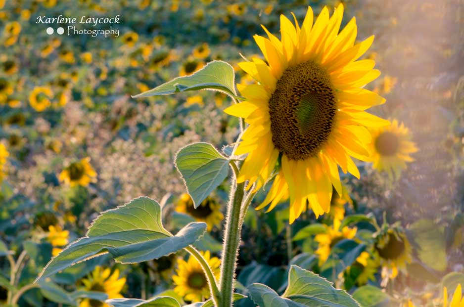 Photograph of a Single Sunflower at Sunset catching the Sun in Eymet, France