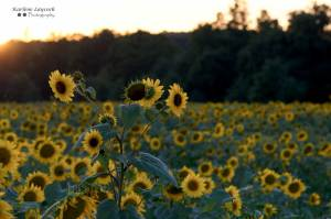 Multiple Sunflowers in a Field in Eymet