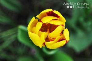 Yellow and Red Tulip against a Green Background