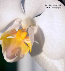 White Orchid with a Yellow Centre