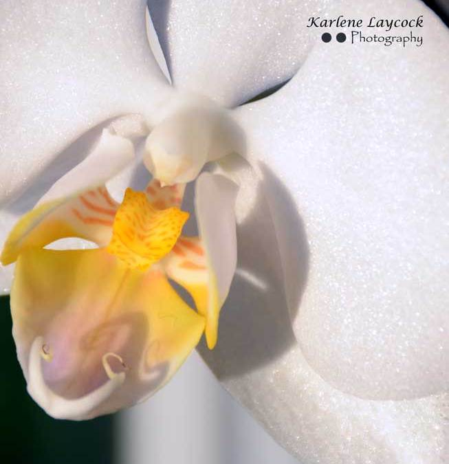 Close Up Photograph of a White Orchid with a Yellow Center