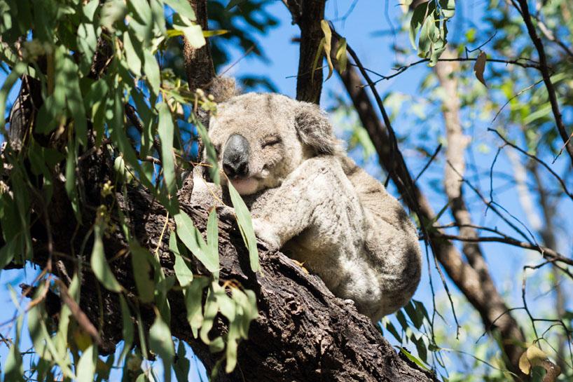 Koala Magnetic Island