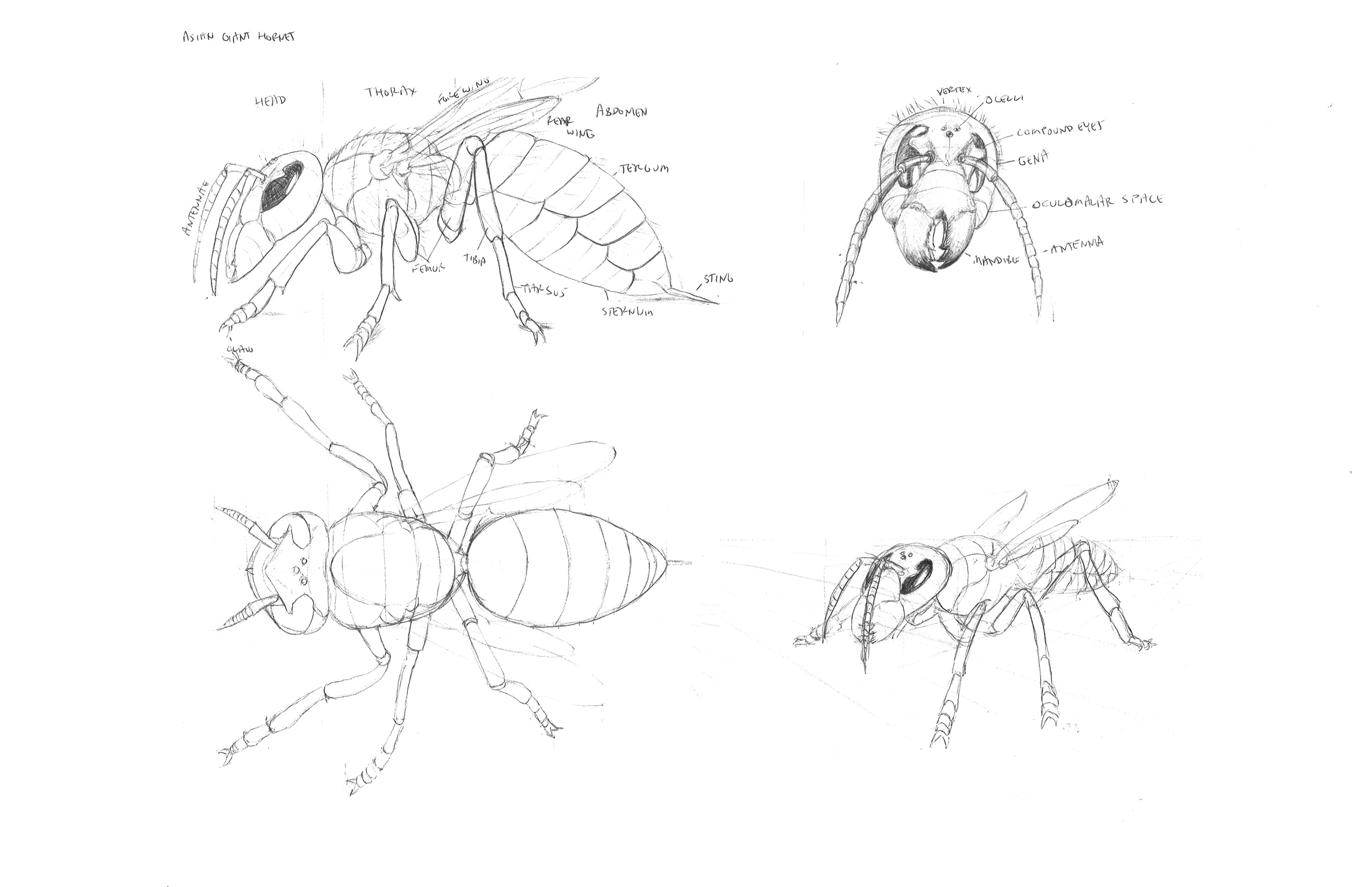 hornet anatomy diagram sps audiovox wiring gotta keep drawing and some studies of the asian giant these were somewhat time