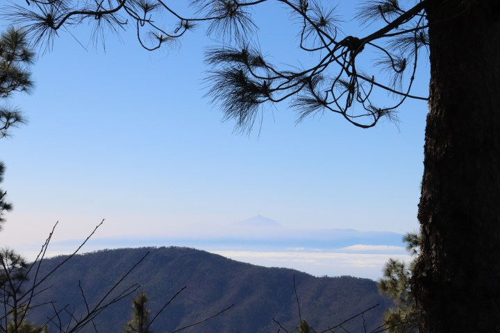 A view of pine tree. The summit of Mount Teide in Tenerife is visible above the clouds on the horizon.