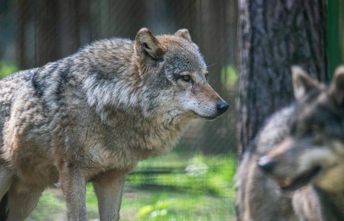 Der Wolf verbreitet sich immer mehr in Baden-Württemberg
