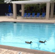 Secret Life of a Swimming Pool: The Mallard Brothers regularly stop by before 7 a.m., when the man in the safari hat arrives with a long-poled broom and skim basket.