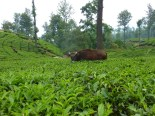 Bison (or guar) are a big problem in the tea fields because they trample it.