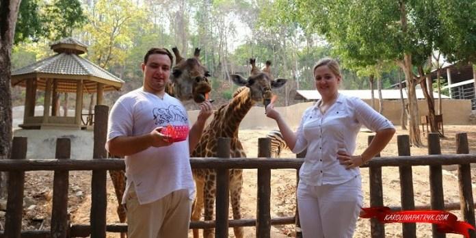 Karolina&Patryk hand-feeding giraffes