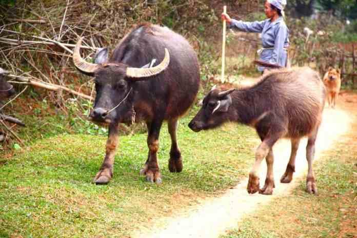 Ochsen at rural area of Northern Vietnam