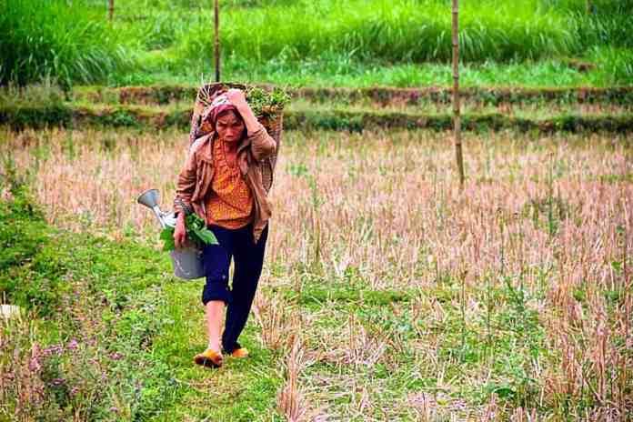 Working on the rice fields in Vietnam