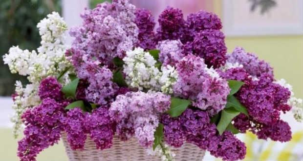 Virágzik a tavasz egyik legszebb növénye, a májusi orgona!