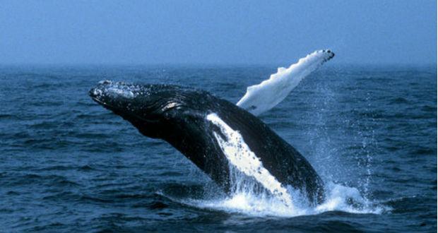 10 tény a bálnavadászatról