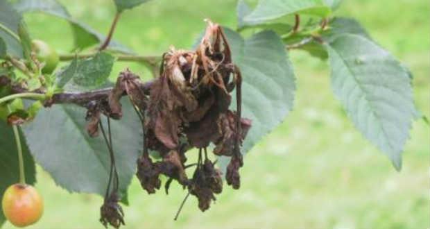 Az ukrán agrárminisztérium szerint a késői fagyok miatt csaknem 30 százalékkal kevesebb gyümölcs érik be az országban