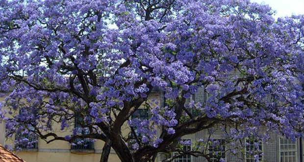 Ungváron virágba borult a leggyorsabban növő fa