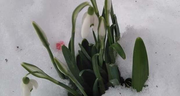 Kinyíltak az első hóvirágok az Ökörmezői járásban