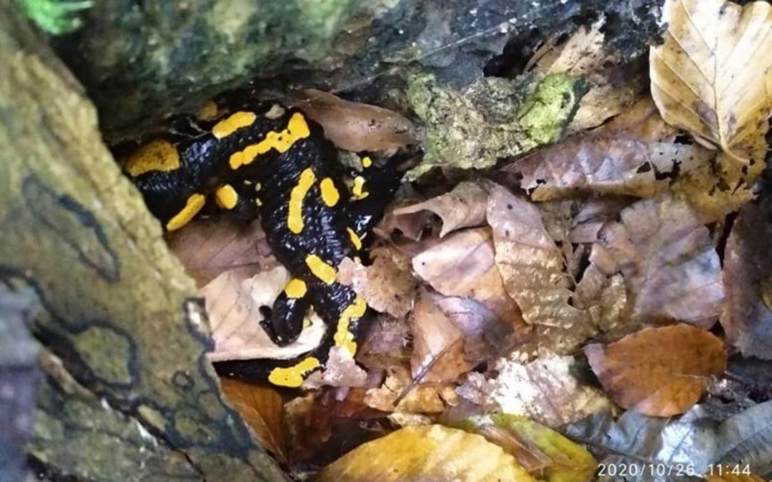 Foltos szalamandrát találtak Nagyszőlősön