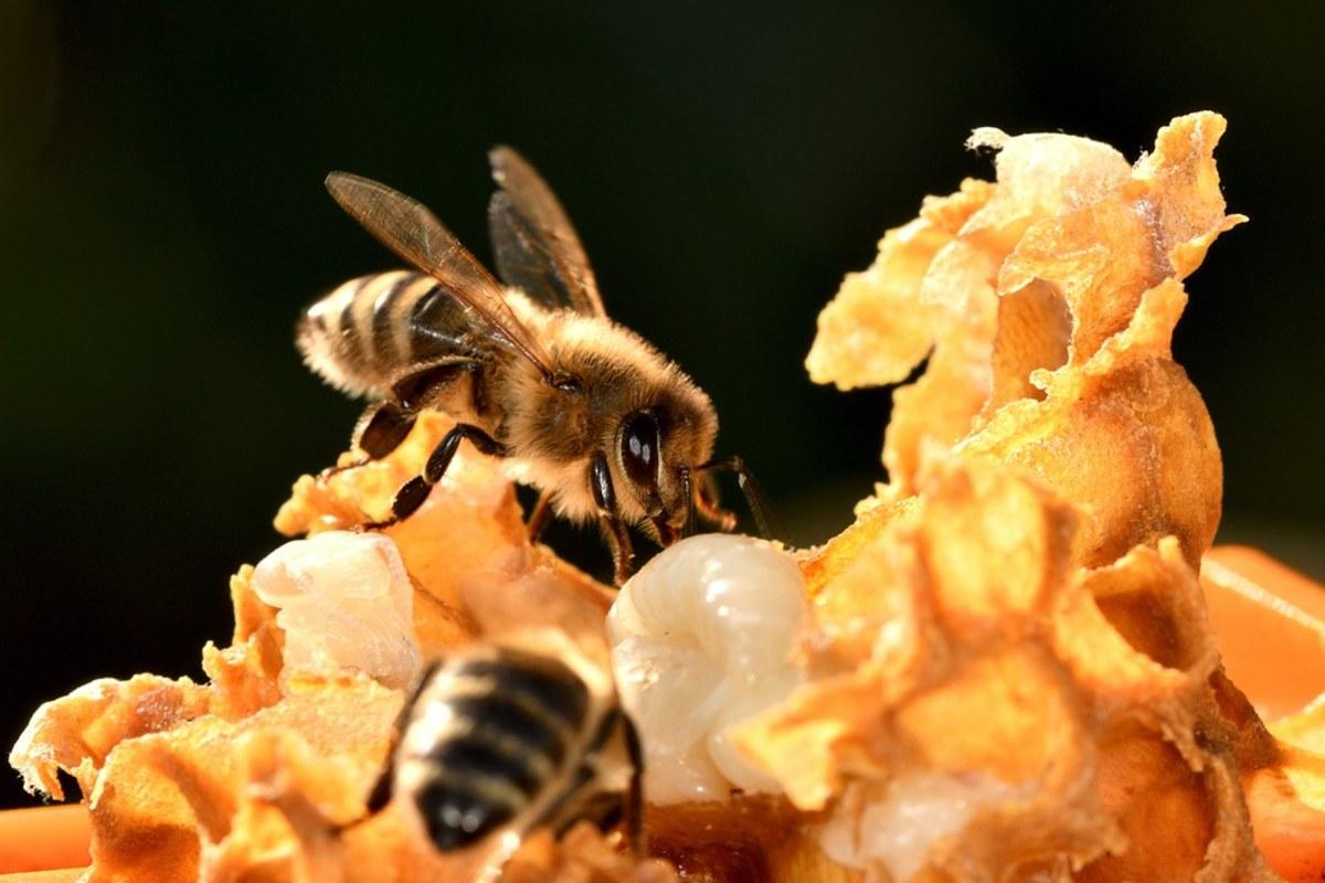 méz méh