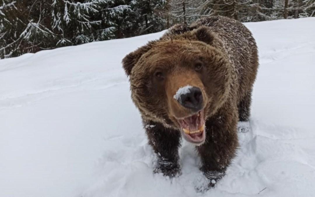 Kárpátalja ma: játék medve módra
