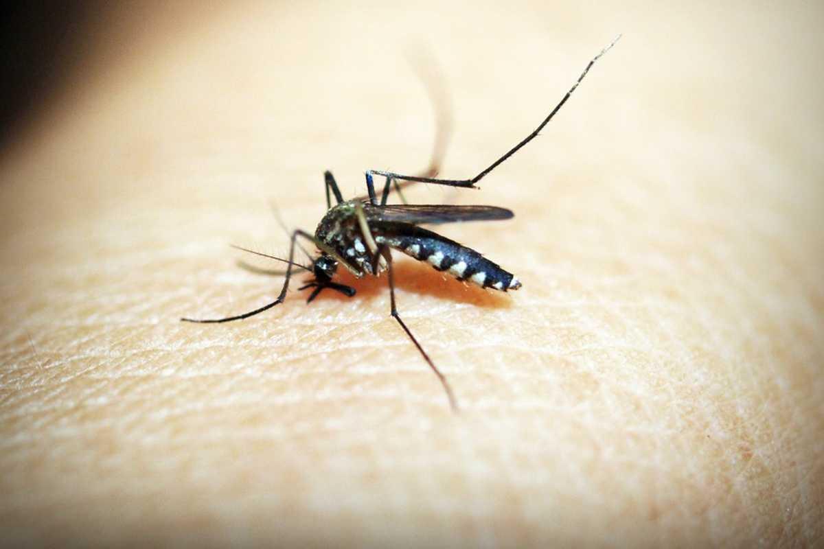 malária szúnyog