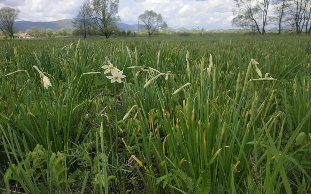 Kinyíltak az első virágok a Nárciszok-völgyében