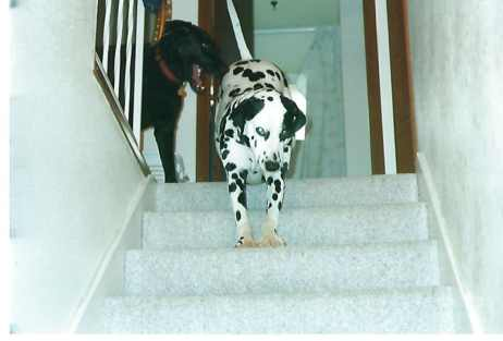 Dalmatian and black Labrador dogs at the top of the stairs
