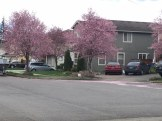Pink Blossoms in Trees and in Carpet