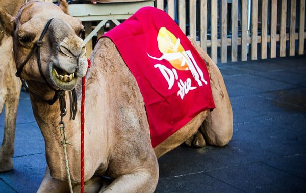 Tourism NT brings a camel to Sydney
