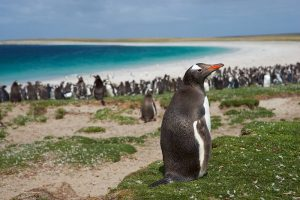 Falkland Islands Gentoo Penguins